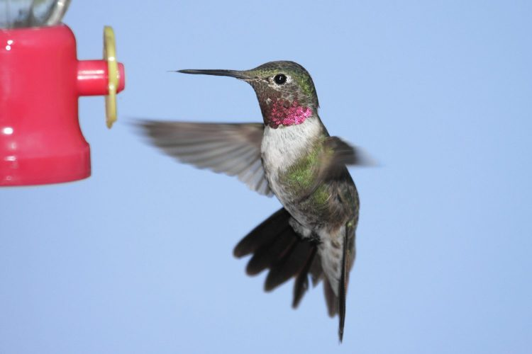 Broad-tailed Hummingbird male (Selasphorus platycercus)