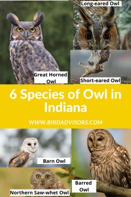 6 species of owl