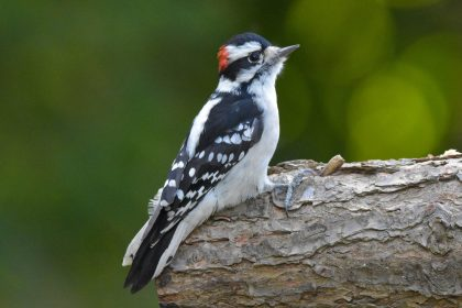 Downy Woodpecker for identification in Massachusetts MA