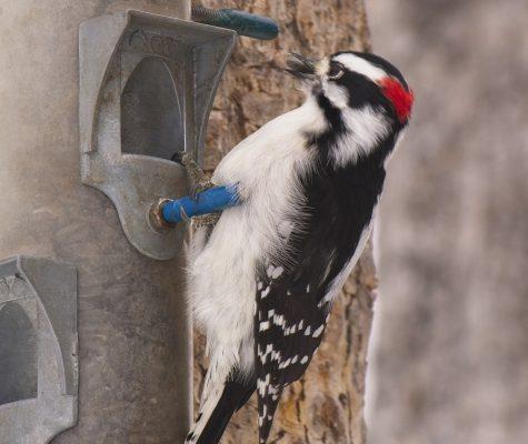 Downy woodpecker for identification