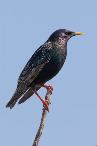 European Starling for identification