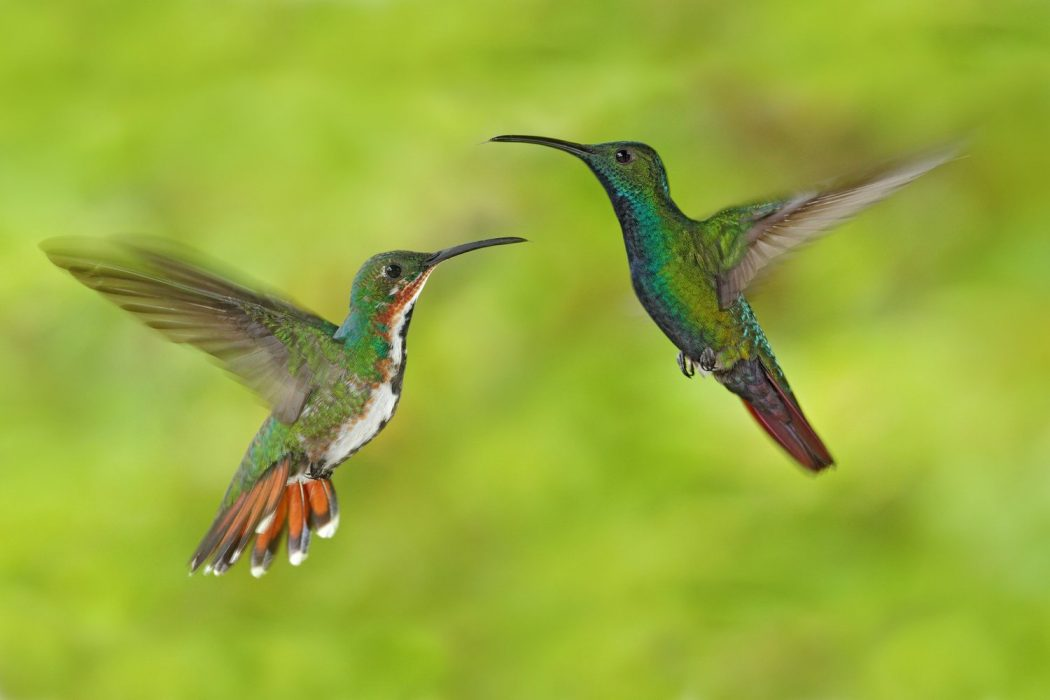 Green-breasted Mango male and female pair