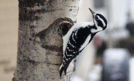 Hairy woodpecker female