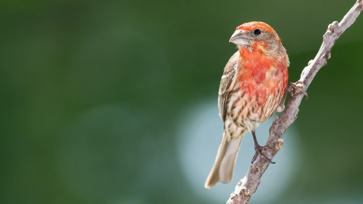 house finch male