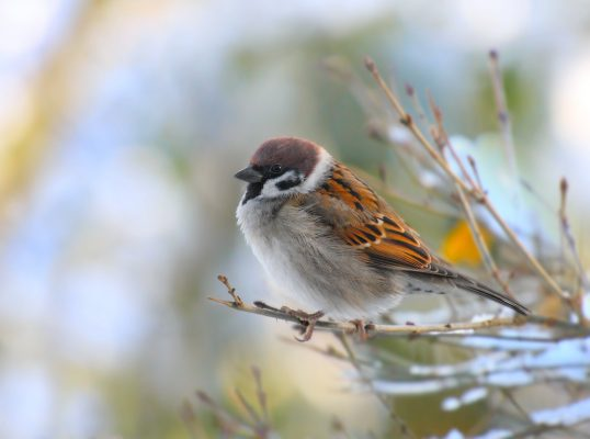 House sparrow for identification