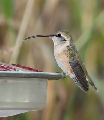 Lucifer Hummingbird female
