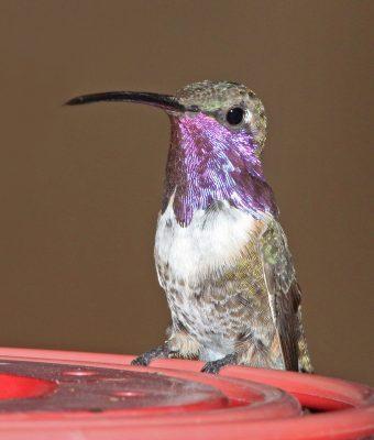 Lucifer hummingbird male