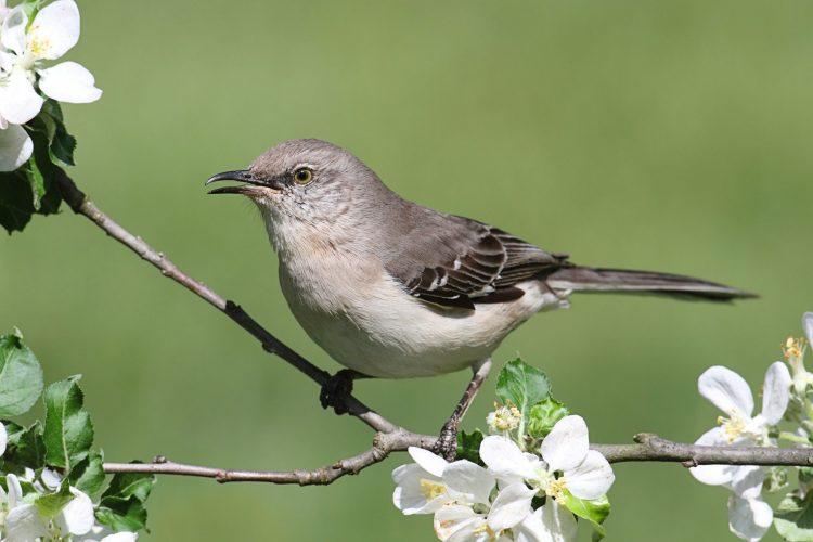 Northern mockingbird for identification