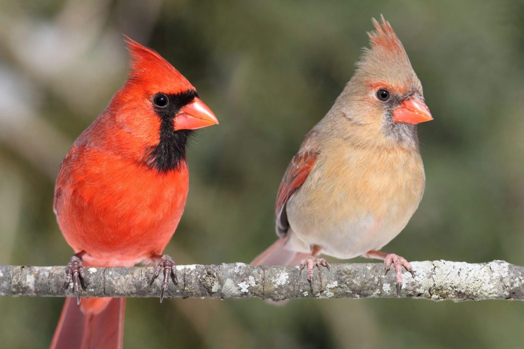 Northern cardinal male and female for identification