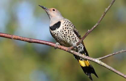 Northern flicker female yellow shafted