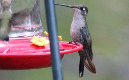 Rivolis hummingbird female cc