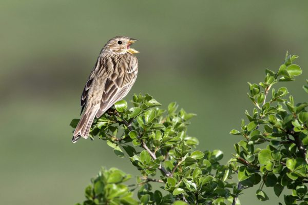 Song sparrow for identification