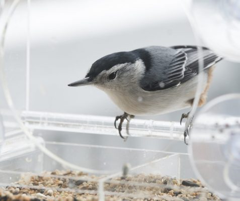 White breasted nuthatch for identification