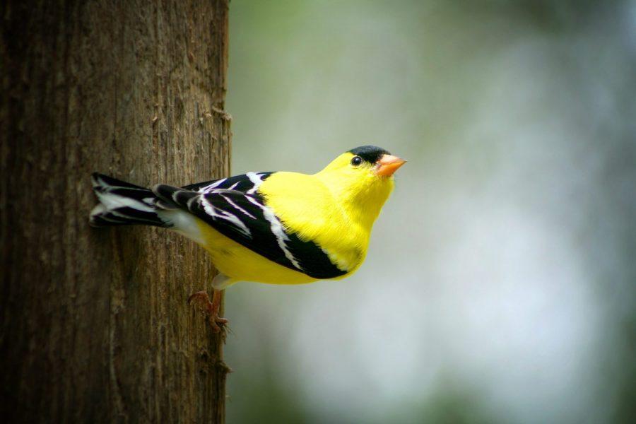 American goldfinch male