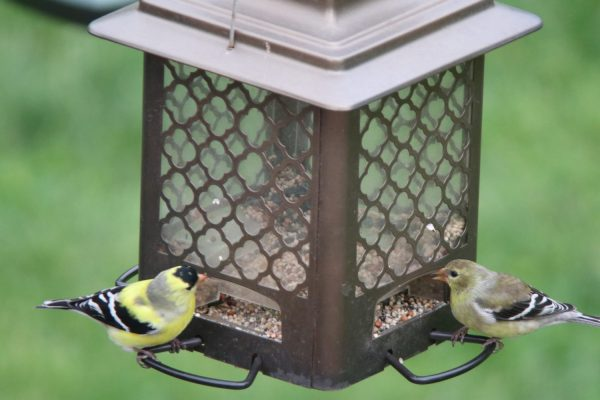 American Goldfinch for identification