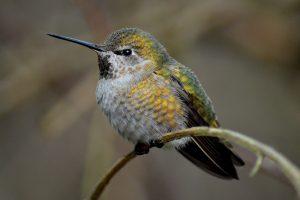annas hummingbird female