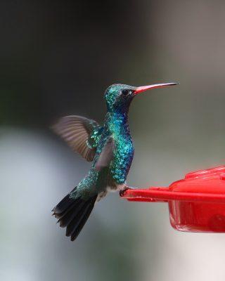 broad billed hummingbird male