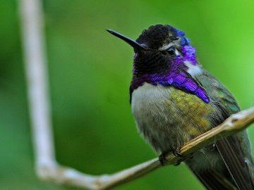 costas hummingbird