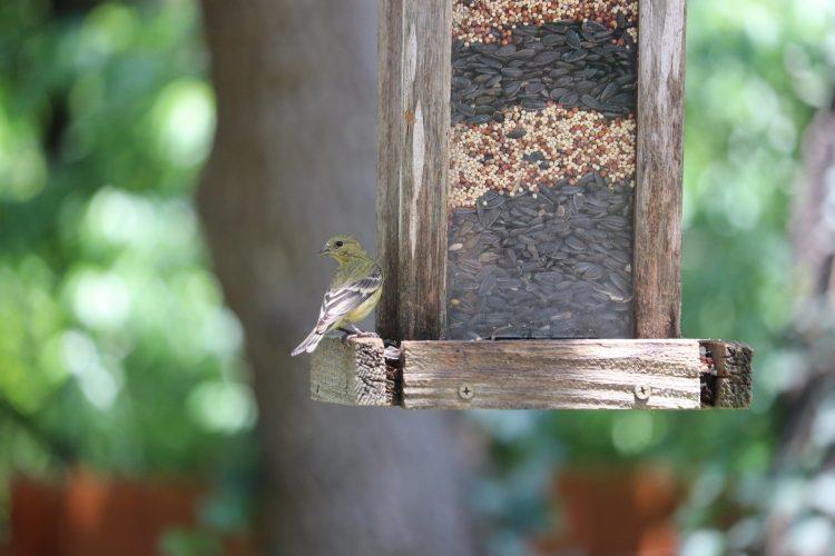 lessor goldfinch