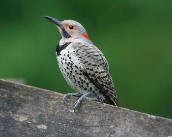 northern-flicker-male-yellow-shafted