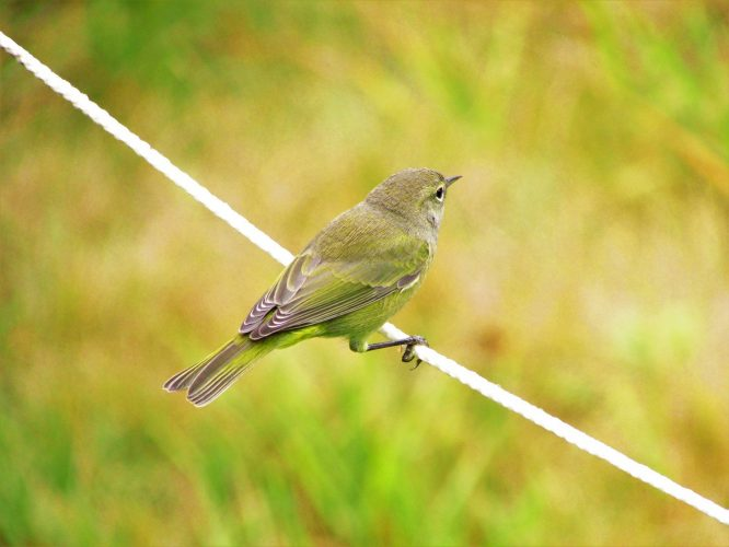 orange-crowned-warbler