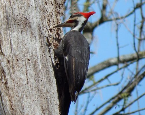 Woodpecker for indentification in New york NY