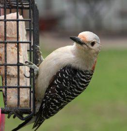 Red-bellied woodpecker female for identification