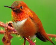 rufous-hummingbird male